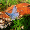 Jigsaw: Blue Butterfly