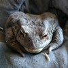 Jigsaw: Close Toad