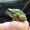 Jigsaw: Tiny Frog