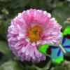 Kingdom of the flowers: Bellis